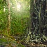 Den stora gammala treestammen med rotar i regnskog Royaltyfria Foton
