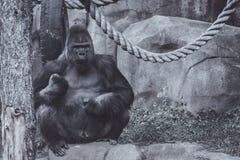 Den stora gorillan för den vuxna mannen sitter på en sten fotografering för bildbyråer
