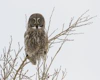 Stor Perched grå färgOwl Fotografering för Bildbyråer