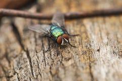 Den stora gr?na flugan st?r p? ett tr?d och v?ntar f?r att flyga kryp utomhus- arkivfoton