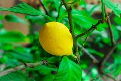 Den stora gula citronen ligger på en blå platta på en gul bakgrund Royaltyfri Bild