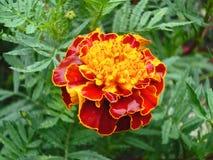 Den stora härliga blomman Arkivfoton