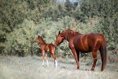 Den stora härliga bruna hästen får bekantad med en liten hingstföl, som två gamla dagar Arkivbild