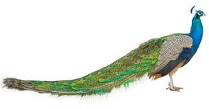 Den stora härliga påfågeln på vit royaltyfria bilder