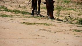 Den stora hästen som äter gräs stock video