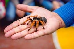 Den stora håriga spindeln i man gömma i handflatan Mannen visar stor tarantula_ fotografering för bildbyråer