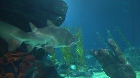 Den stora hajen simmar djupt i undersea och sökande av rovet stock video