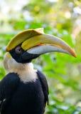 Den stora hornbillen (Bucerosbicornis) Fotografering för Bildbyråer