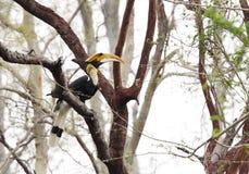Den stora hornbillen i den Jhirna skogen, Jim Corbett Royaltyfria Bilder