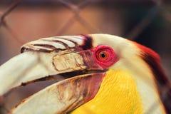 Den stora hornbillen också som är bekant som den stora indiska hornbillen eller stor pied hornbill, är en av de större medlemmarn Royaltyfria Foton
