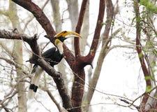 Den stora hornbillen sätta sig i ett träd, den Jhirna skogen, Jim Corbett Royaltyfri Foto