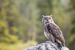 Den stora Horned Owl Bubo virginianusen Royaltyfria Bilder
