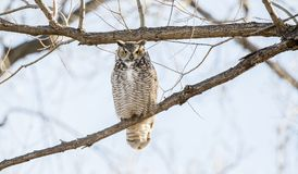 Den stora Horned Owl Bubo virginianusen sätta sig i poppelträd Royaltyfri Foto