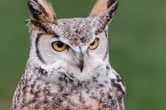 Den stora Horned owlen ser höger Royaltyfri Foto