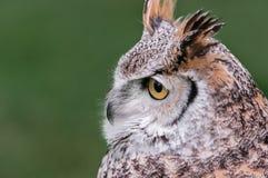 Den stora Horned owlen ser till vänster Arkivbilder