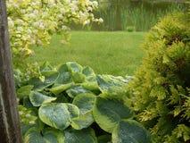 Den stora hostaen lämnar i landskapträdgårddesign Soliga droppar för ljust vatten efter regn Gröna gras gräsmatta och thujabuske arkivbild