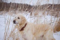 den stora hunden går parkerar in i vinter Arkivbilder