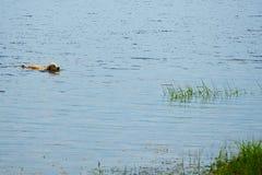 Den stora hunden simmar i near kust för sjön Arkivfoto