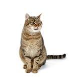 Den stora katten sitter på en vit bakgrund med hans tunga som ut hänger Royaltyfri Bild