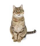 Den stora katten sitter på en vit bakgrund och att se framåtriktat Arkivbilder