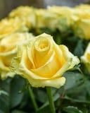 Den stora knoppen av gulnar rosa Royaltyfria Bilder