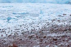 Den stora kolonin av gentoopingvin kör över kusten Antarktis Royaltyfria Bilder