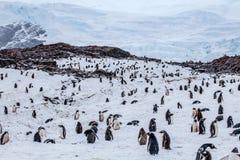 Den stora kolonin av gentoopingvin mot vaggar i bakgrund Arkivfoton