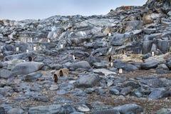 Den stora kolonin av gentoopingvin på vaggar i Antarktis Royaltyfri Fotografi