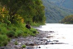 Den stora lösa björnen går vid floden arkivfoton
