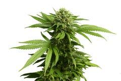 Den stora lövrika cannabisväxten med marijuana slår ut vid vit bakgrund Arkivbilder