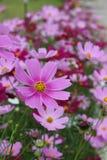 Den stora lilan blommar med gult pollen Arkivbild
