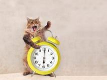 Den stora lurviga katten är det mycket roliga anseendet klocka 10 Arkivfoto