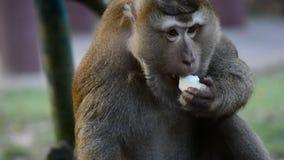 Den stora Macaqueapan äter frukt Slut för Macaqueapa upp videoen stock video