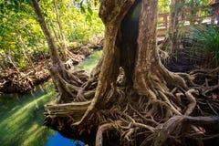 den stora mangroveträdstammen med flätat samman rotar och fördjupningen Royaltyfria Bilder