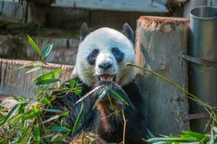 Den stora pandan äter bambu i den Chiang Mai zoo, Thailand royaltyfri foto