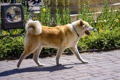 Den stora prickiga hunden går på en koppel arkivfoto