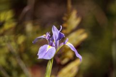 Den stora purpurfärgade skäggiga Iris Iris germanicablomman blommar löst Fotografering för Bildbyråer