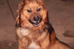 Den stora röda hunden grinar royaltyfria foton