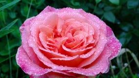 Den stora rosa färgrosen med regn tappar i trädgården arkivbilder