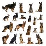Den stora samlingen av den tyska herden Dog, vuxna människan, valp, skilja sig åt in Arkivbilder