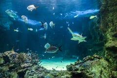 Den stora sawfishen och annan fiskar simning i ett stort akvarium Royaltyfri Bild