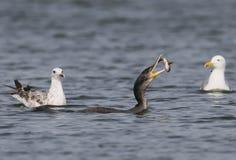 Den stora seagullen försöker att ta rovet Arkivfoton