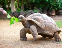 Den stora Seychellerna sköldpaddan äter. Close upp royaltyfri bild