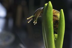Den stora snigeln i l?vverket av hyacinten, slut upp fotografering för bildbyråer
