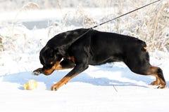 Den stora starka Rottweiler hunden drar koppeln i vintern utomhus Arkivfoto