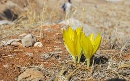 Den stora Sternbergia luteaen som blommar på den israeliska öknen arkivfoto
