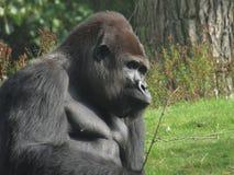 Den stora svarta apan arkivfoton