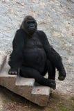 Den stora svarta apan gorilla Royaltyfria Foton