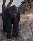 Den stora svarta apan gorilla Arkivfoto