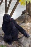 Den stora svarta apan gorilla Fotografering för Bildbyråer